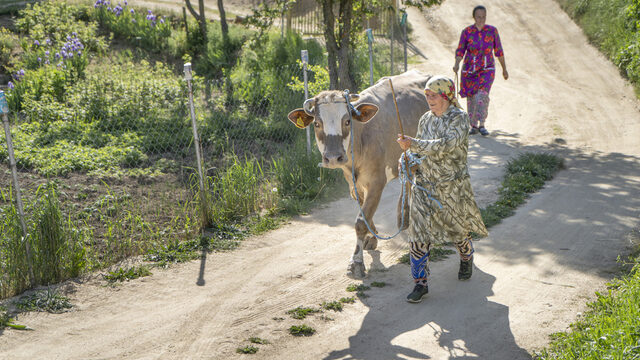 The older generation in Ablanitsa tend to live in a gendered system whereby men work as lumberjacks and women tend to the cows.